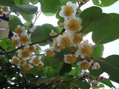 キウイフルーツ花