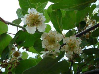 キウイフルーツ花2
