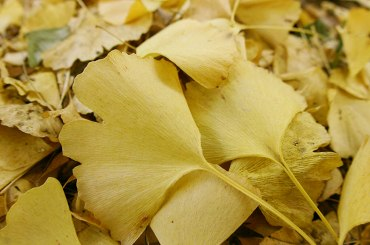 銀杏の葉っぱ