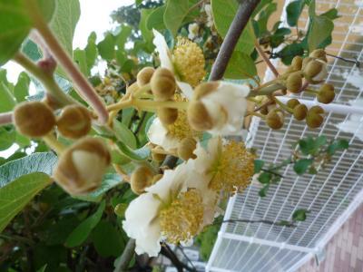 キウイフルーツ花3