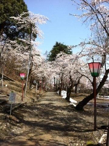 船岡山公園の桜の様子